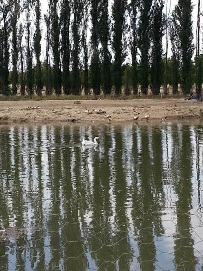 Both domestic and wild fowl take advantage of the pond's bounty