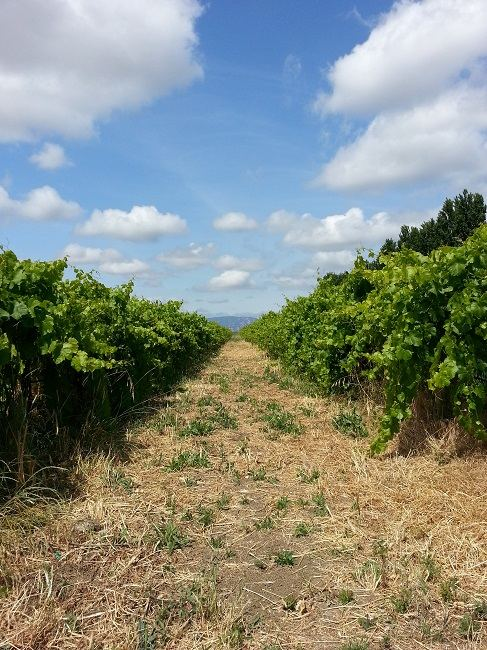Looking down between two rows of grapes to the hills in the west
