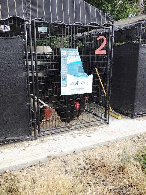 The farm breeds heritage hens, including these Black Australorps