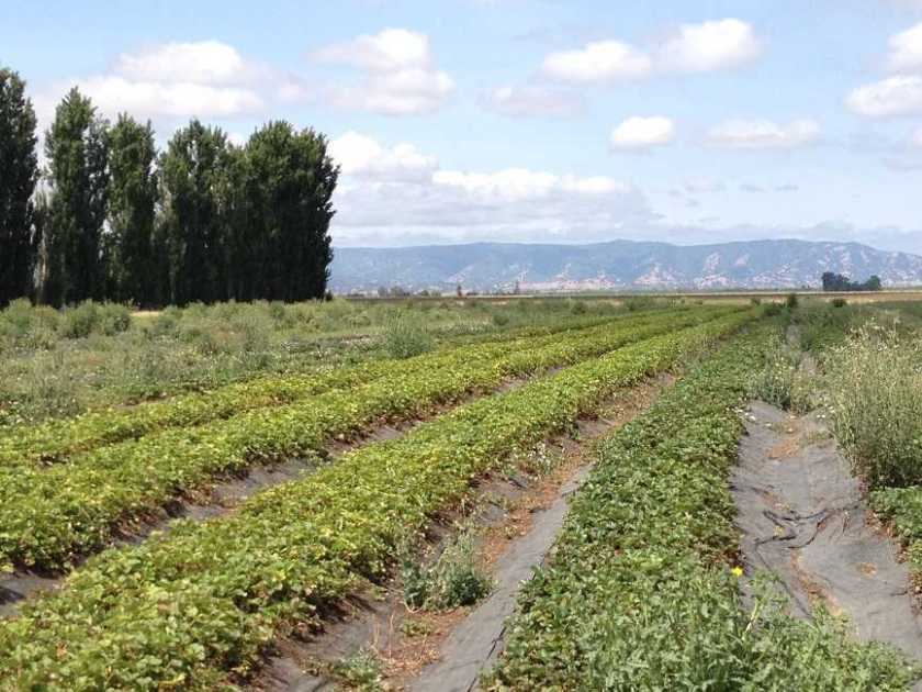 Strawberry rows on Eatwell Farm with coastal range in the background