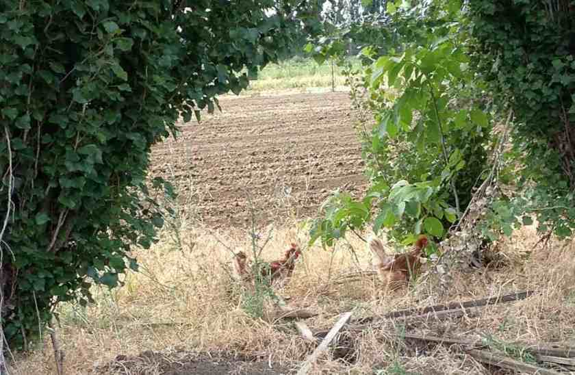Chickens roaming the fields