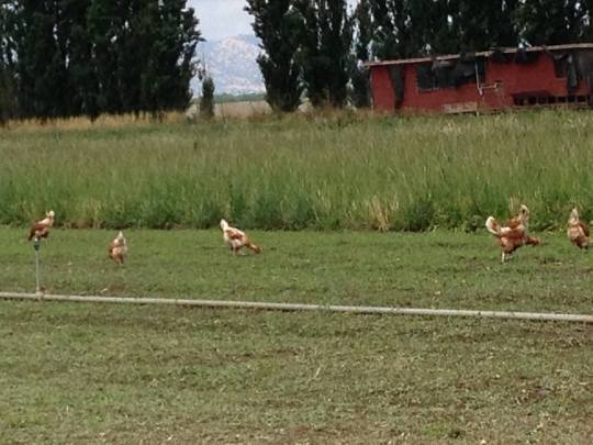 The chickens on the farm truly are free-range--we found them wandering everywhere