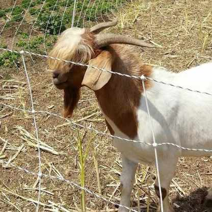 This friendly goat helps the sheep fertilize and condition the soil on the farm