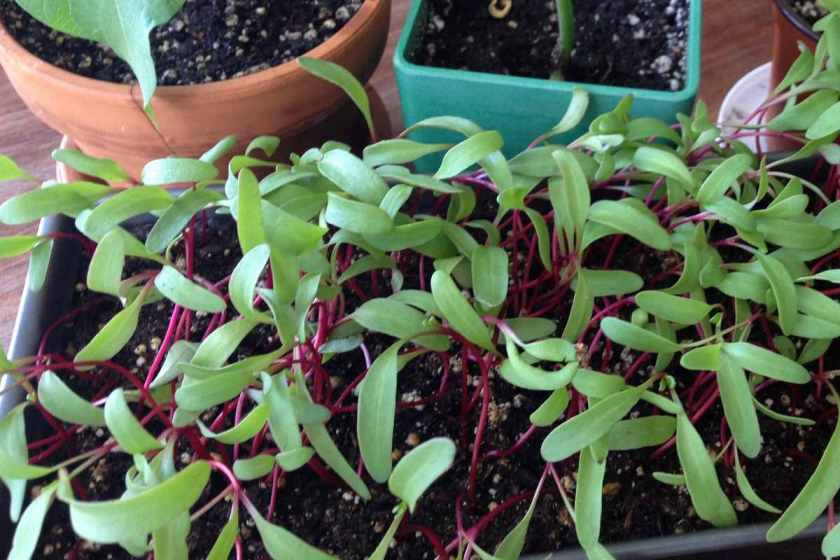 Beet micro greens with bean plants