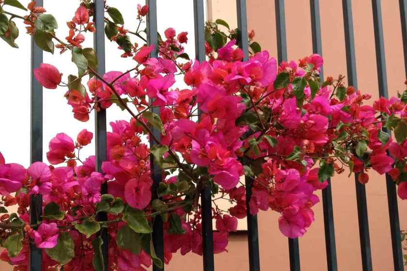 Bougainvillea on wrought iron fence