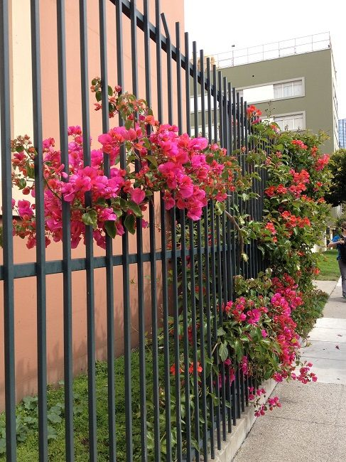 Bougainvillea and trumpet vine on school fence