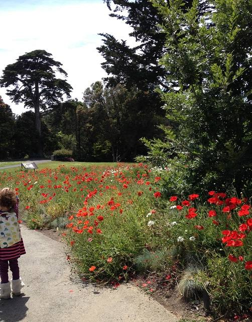 Walking near the Mediterranean Garden poppies in Golden Gate park today