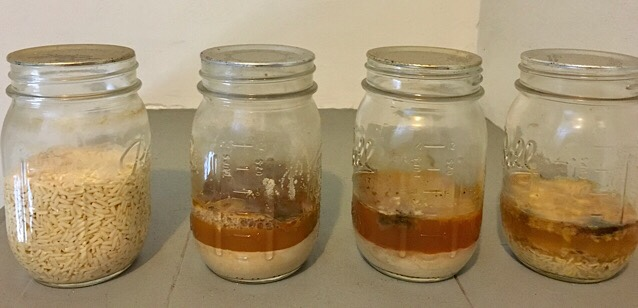 Experiment #4 - 4 jars of rice and water in various stages of decay